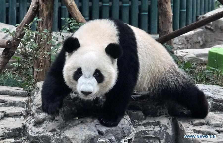 CHINA-BEIJING-ZOO-GIANT PANDA TWINS-DEBUT(CN)
