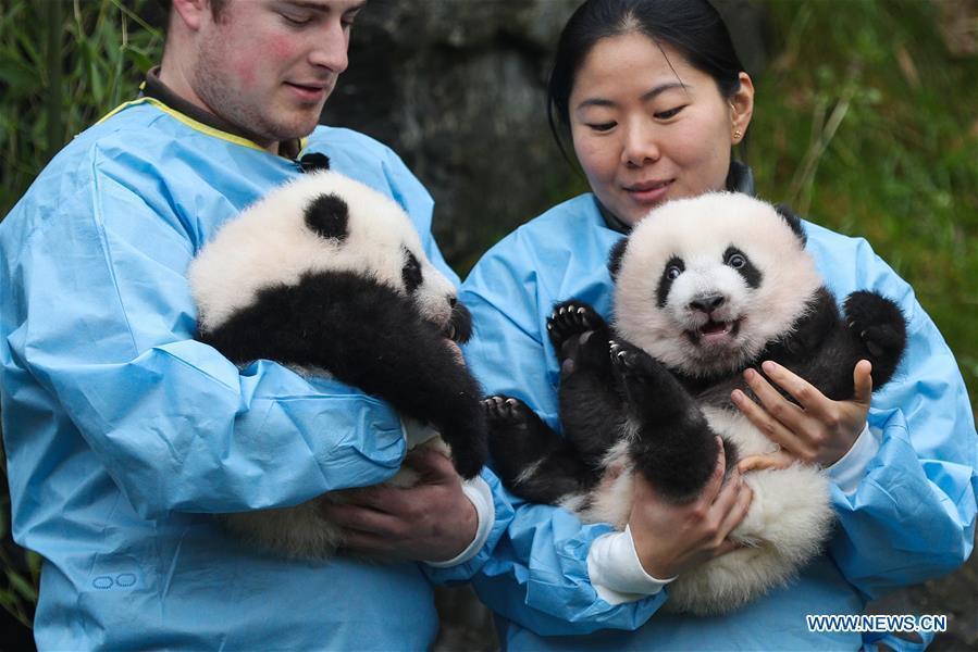 Giant panda twins of 'Bao Mei', 'Bao Di' at Pairi Daiza zoo in Belgium