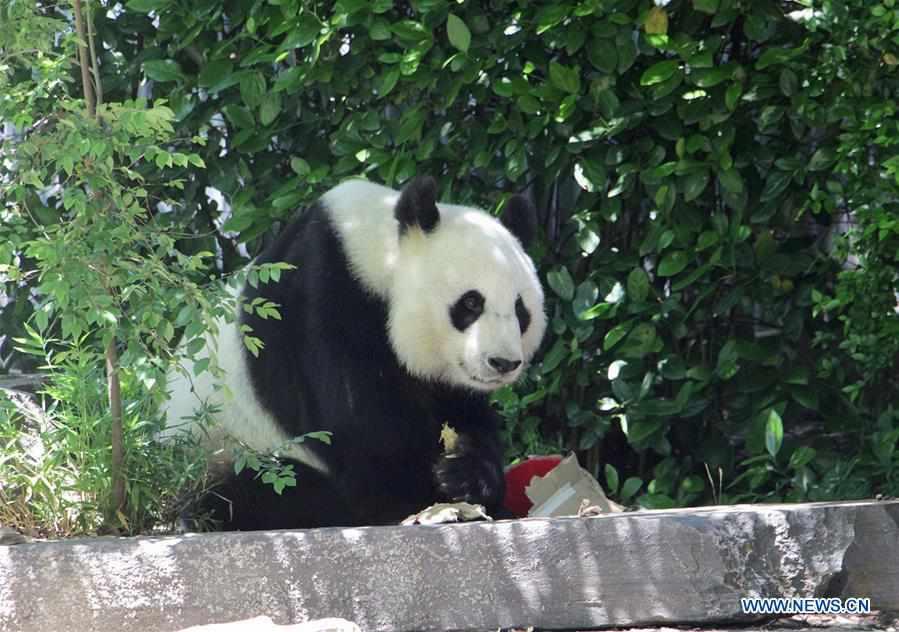 AUSTRALIA-ADELAIDE-CHINESE GIANT PANDA