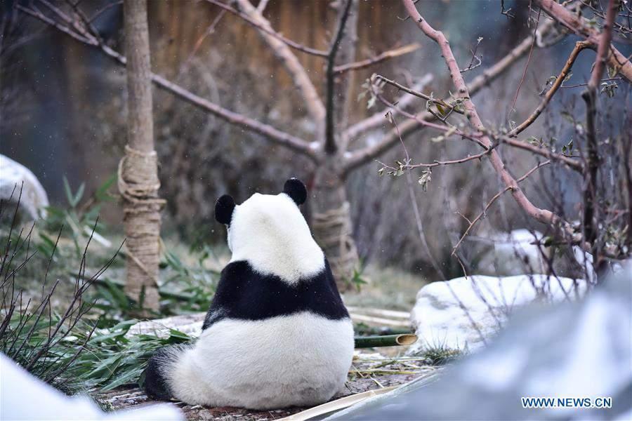 CHINA-QINGHAI-XINING-GIANT PANDA-SNOW (CN)