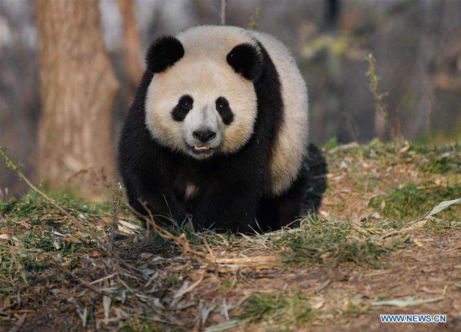 Giant pandas live at research base in Xi'an, NW China