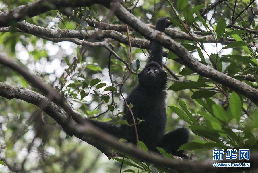 (圖片故事)(14)尋找海南長臂猿
