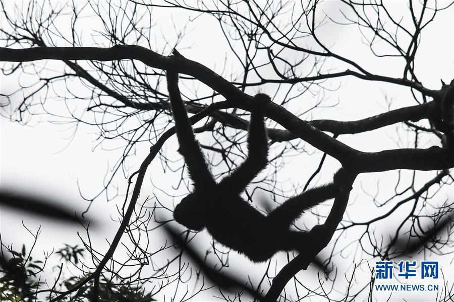 (圖片故事)(7)尋找海南長臂猿