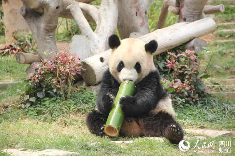 """大熊貓""""開開""""""""心心""""在澳門生活9年"""