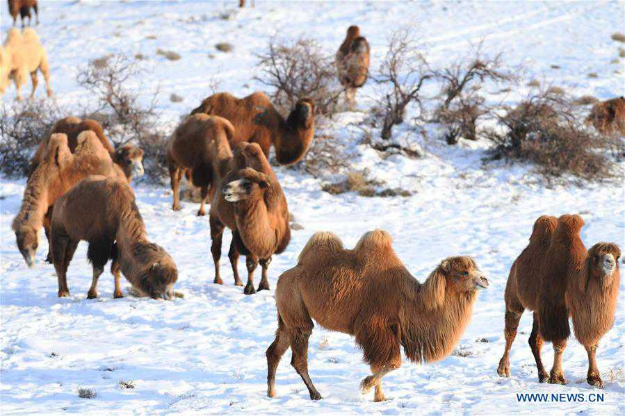 In pics: camel-themed eco-tourism park in China's Xinjiang