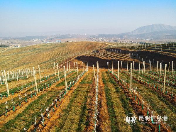 超越公司的万亩苹果园。记者江枫摄