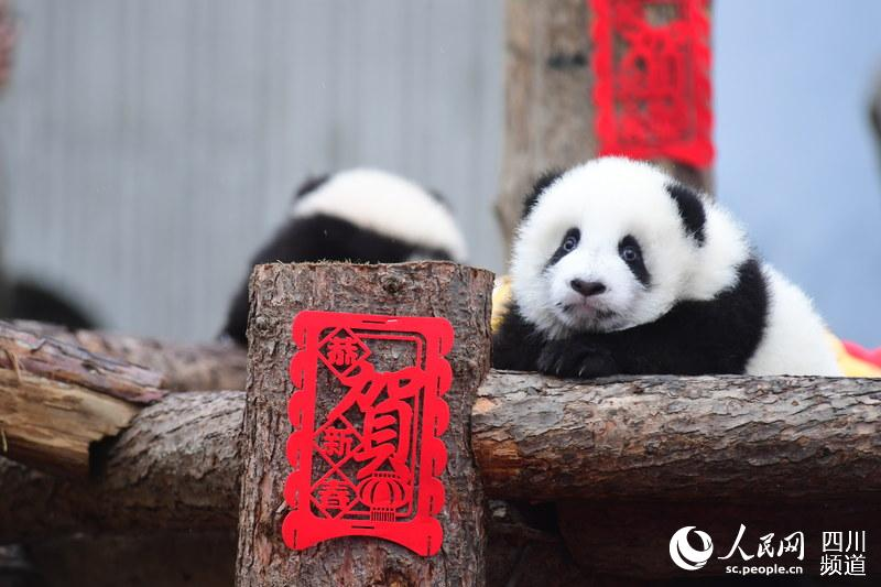 春节即将来临 熊猫宝宝向全国人民恭贺新春
