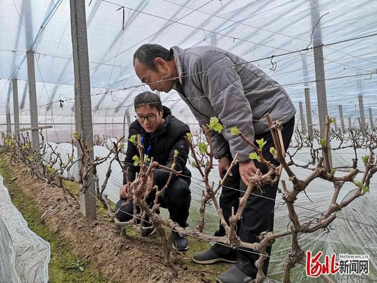【新春走基层】河北饶阳:贫困户成了葡萄种植土专家