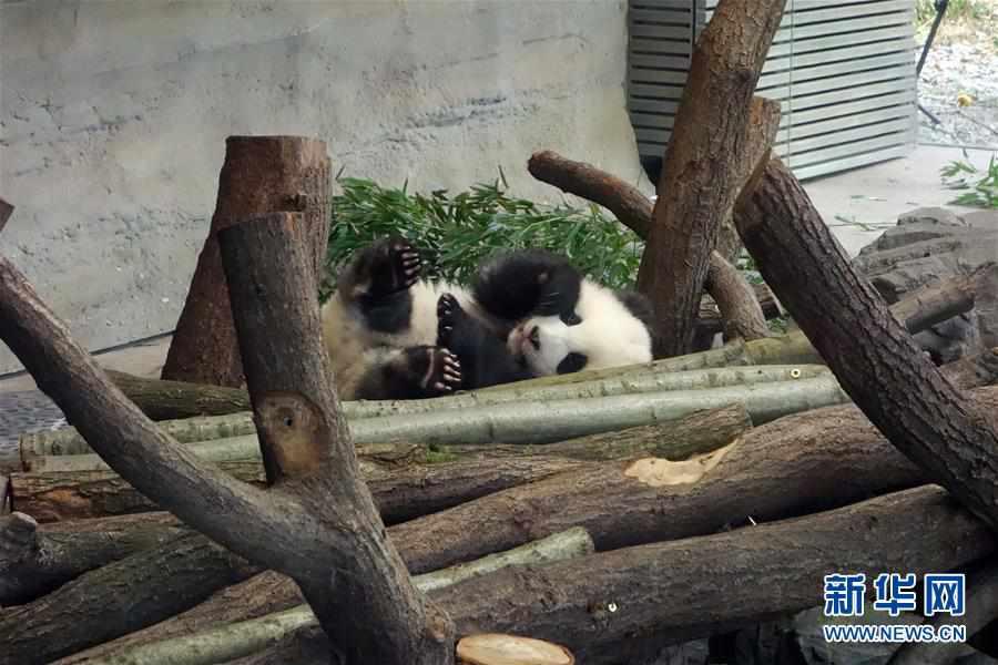 (国际)(3)柏林动物园大熊猫幼崽首次与公众见面