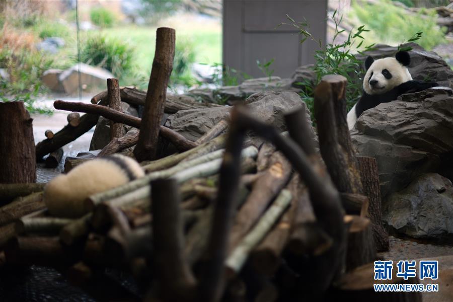 (国际)(2)柏林动物园大熊猫幼崽首次与公众见面