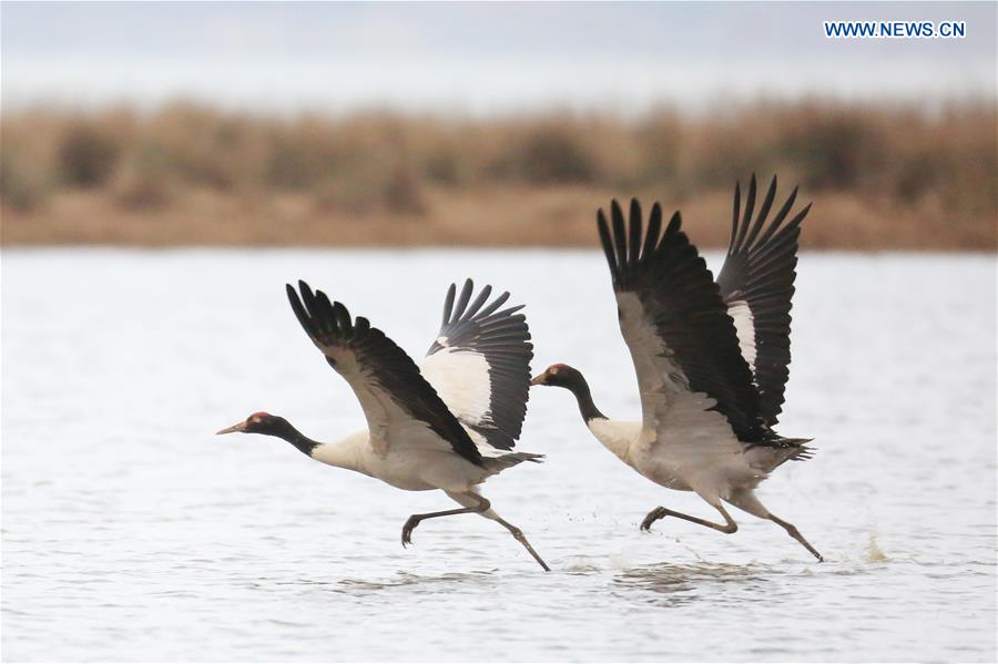 #CHINA-GUIZHOU-WEINING-BLACK-NECKED CRANE (CN)