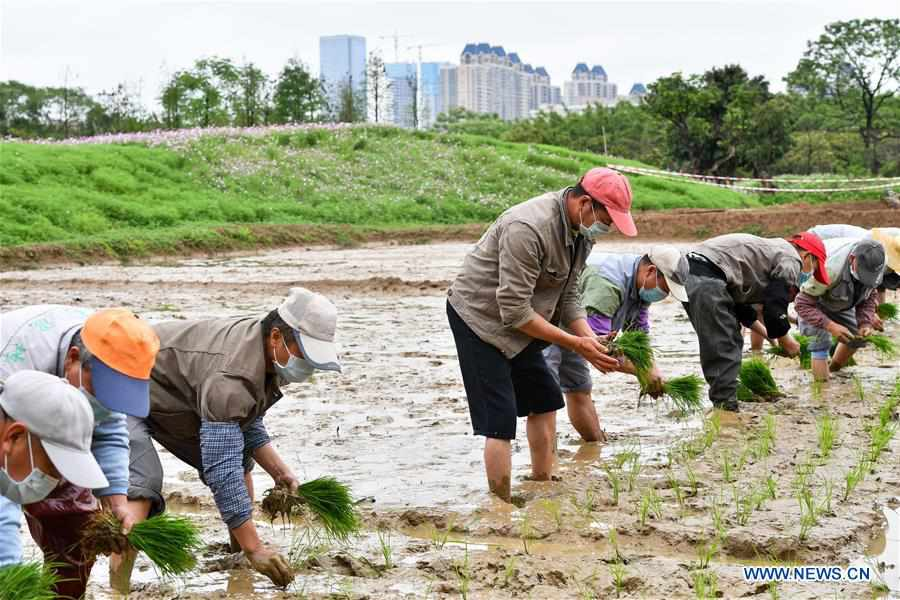 Farmers plant rice seedlings in Guangzhou