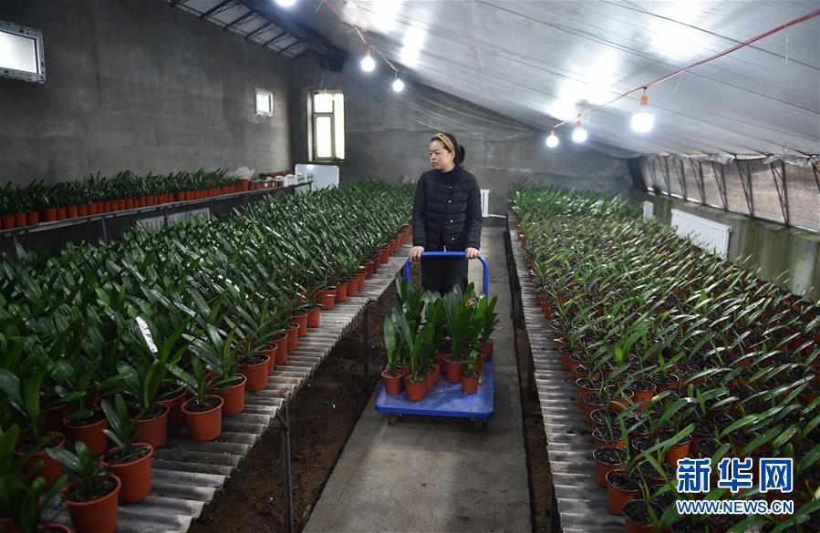 (脱贫攻坚)(4)吉林图们:君子兰产业促农户脱贫增收