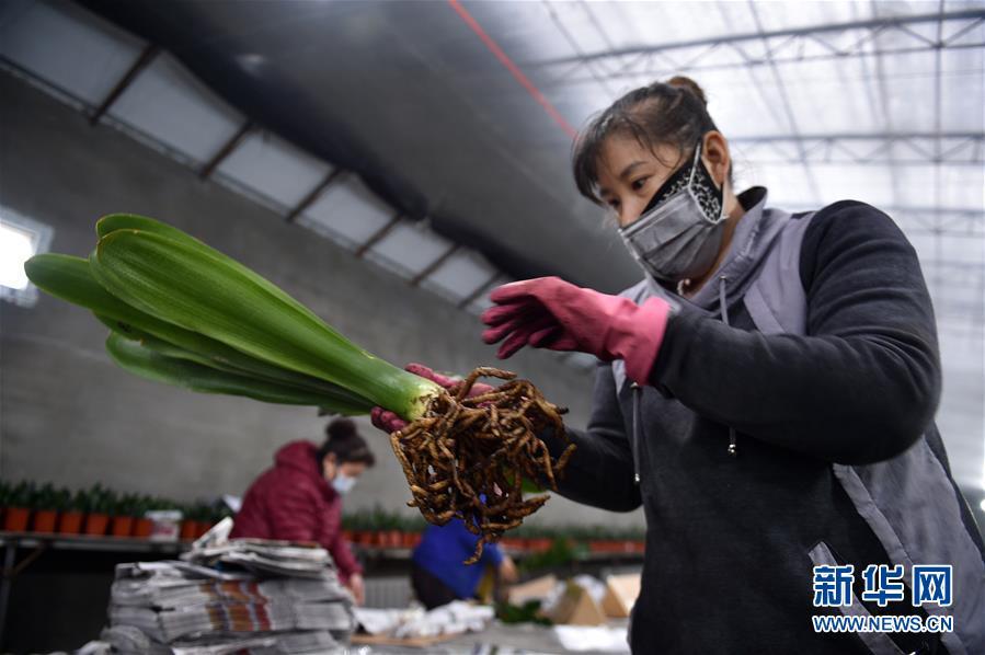 (脱贫攻坚)(2)吉林图们:君子兰产业促农户脱贫增收