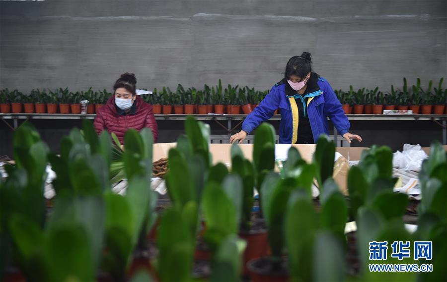 (脱贫攻坚)(1)吉林图们:君子兰产业促农户脱贫增收