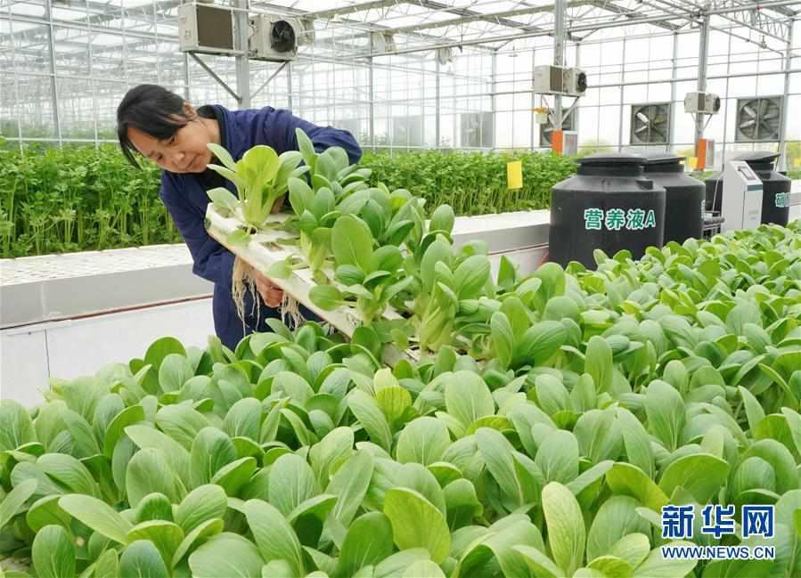 (经济)(3)河北肃宁:发展现代农业助力乡村振兴