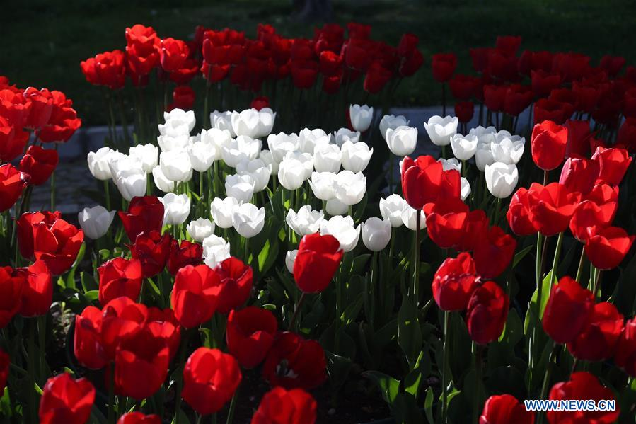 TURKEY-ANKARA-TULIPS