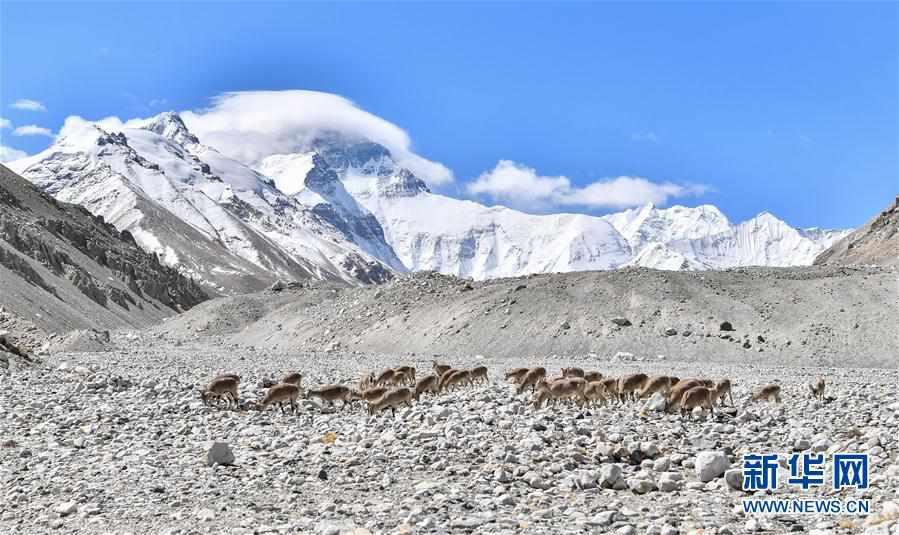 (2020珠峰高程测量)(1)珠峰附近的雪域精灵