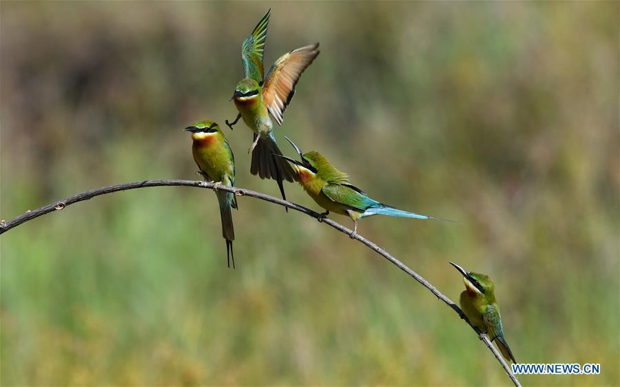 In pics: bee eaters in Haikou, Hainan