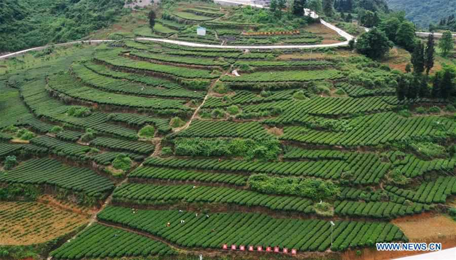 Villagers picking tea leaves in Chongqing
