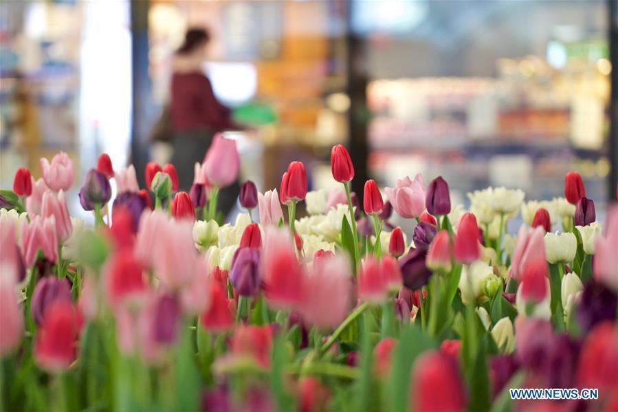 Tulips seen during Amsterdam's Tulip Festival