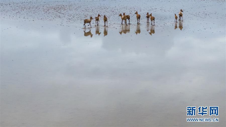 (环境)(1)江苏大丰麋鹿种群数达5681头