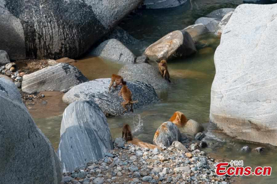 Assamese macaques party along the river in Yunan