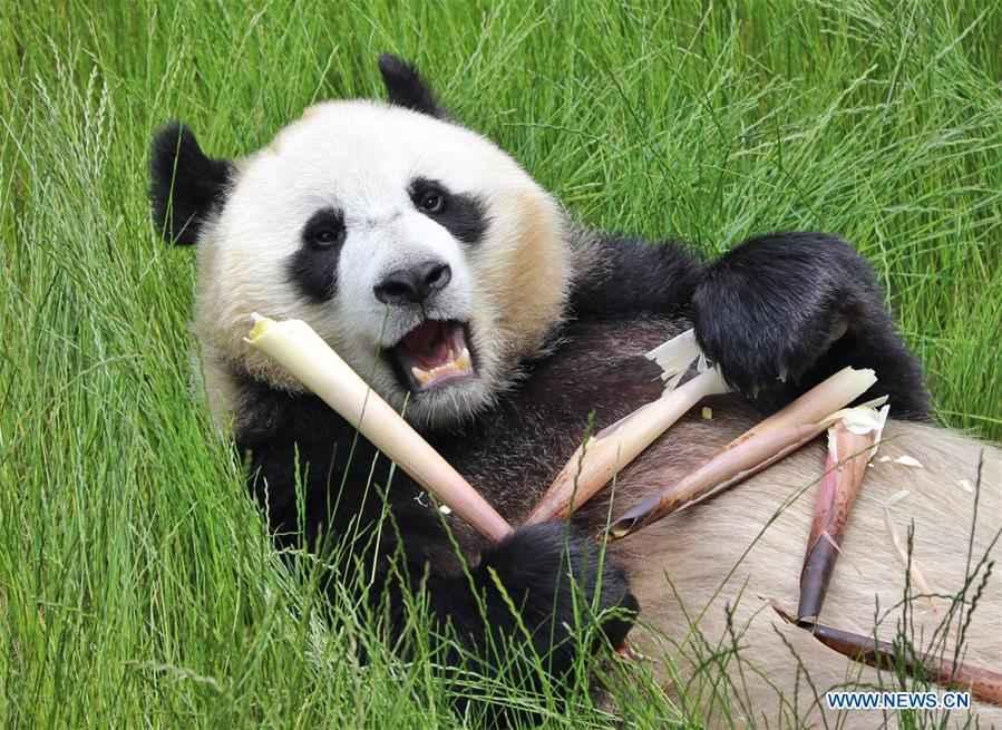 CHINA-SICHUAN-JIUZHAIGOU-GIANT PANDAS (CN)