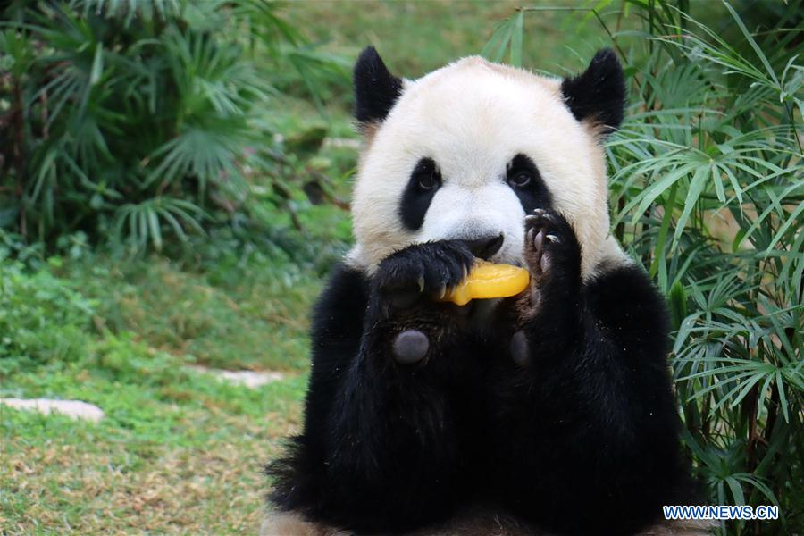 CHINA-MACAO-GIANT PANDAS-BIRTHDAY (CN)