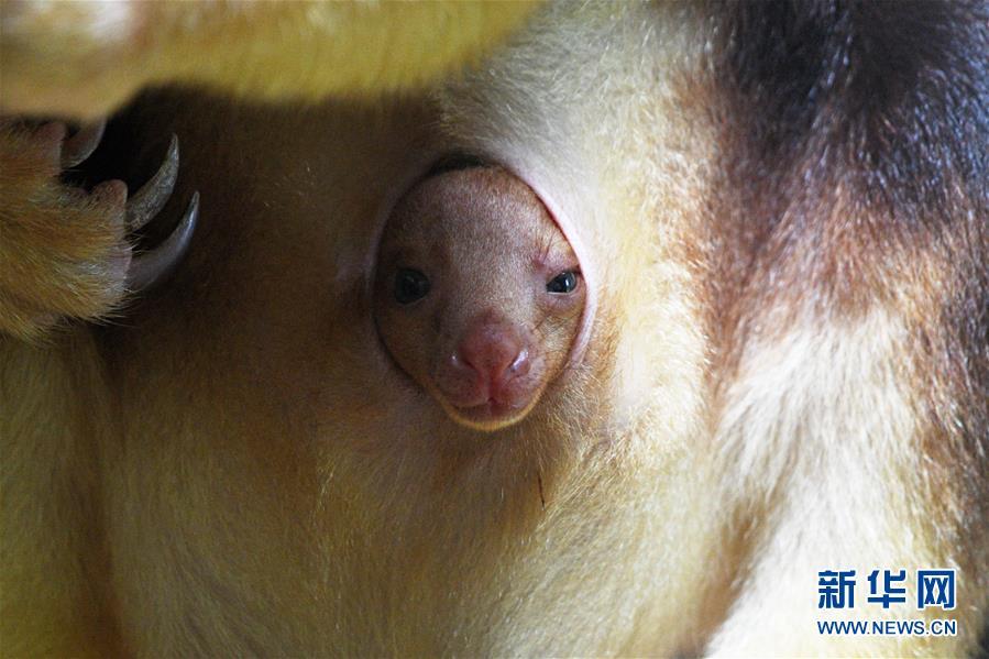 (国际)(1)树袋鼠宝宝亮相新加坡动物园