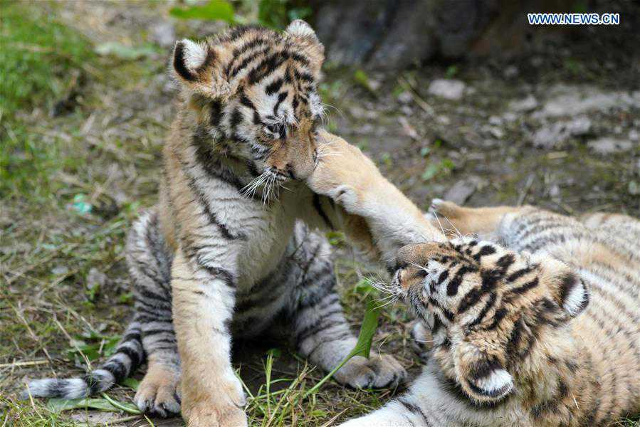 Newborn Siberian tiger cubs frolic at park in Hailin, NE China's Heilongjiang