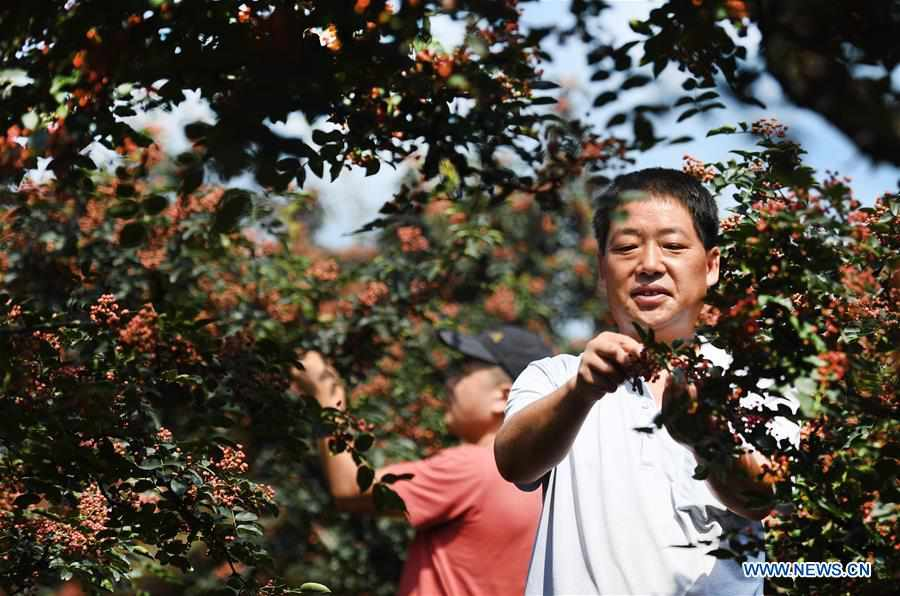 CHINA-SHAANXI-WEINAN-POVERTY ALLEVIATION-CHINESE PRICKLY ASH (CN)