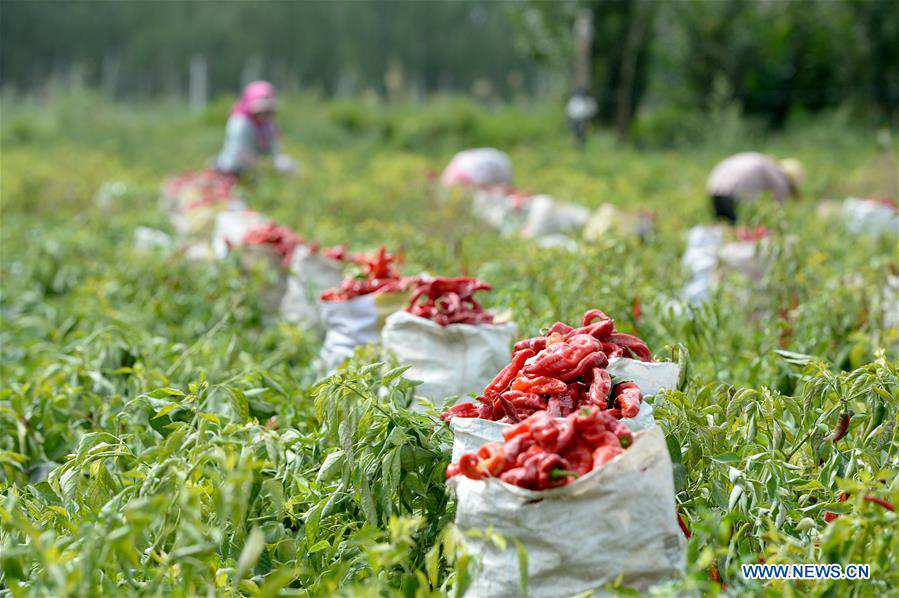 CHINA-XINJIANG-BOHU COUNTY-CHILI-HARVEST (CN)