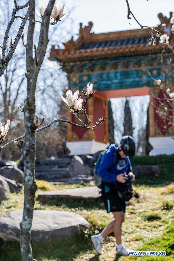In pics: magnolia flowers at Beijing Garden in Canberra, Australia