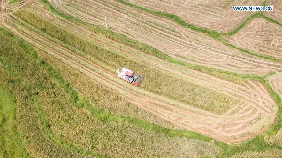 Rice fields usher in harvest season in SW China's Guizhou