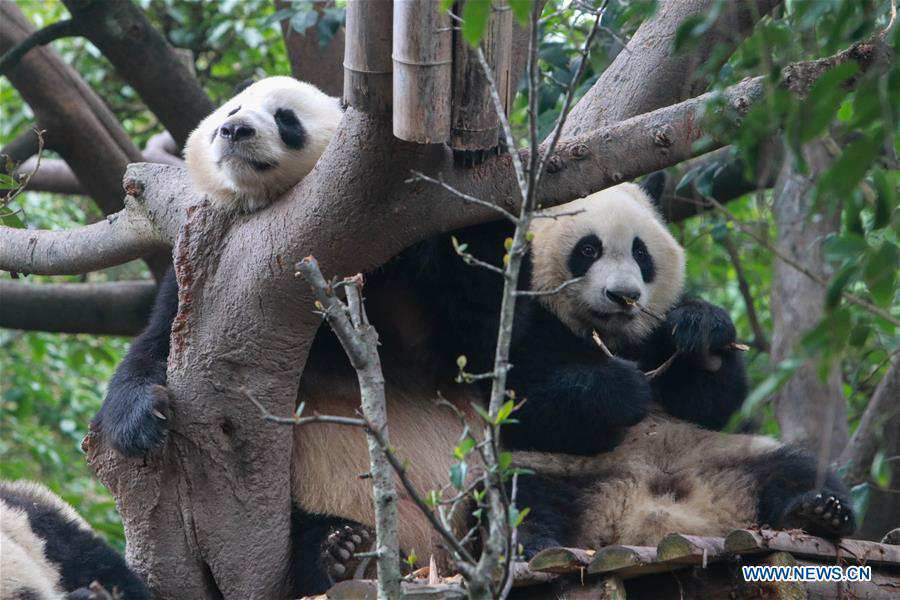 CHINA-SICHUAN-CHENGDU-PANDA DAY (CN)