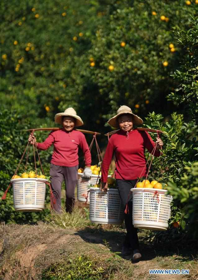 Farmers harvest navel oranges in Ganzhou, Jiangxi