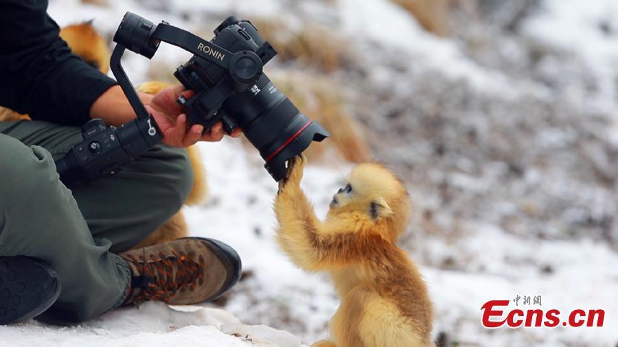 Population of golden snub-nosed monkey in Shennongjia National Park increases