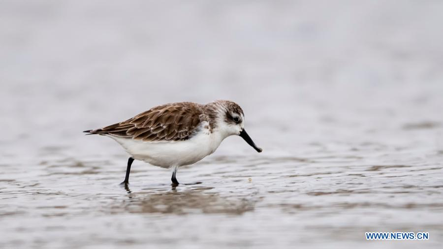 Spoon-billed sandpipers spotted in Jinjiang, SE China