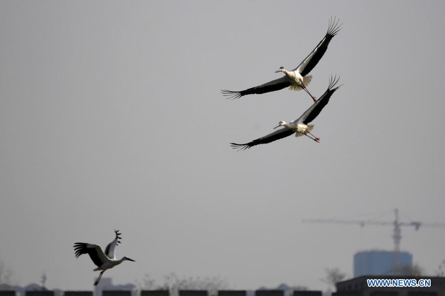 Oriental white storks spotted at Nanhu park in Shangqiu City, C China