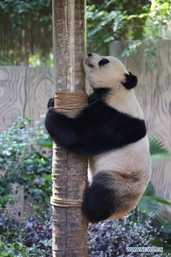 Giant pandas play at Hainan Tropical Wildlife Park and Botanical Garden in Haikou
