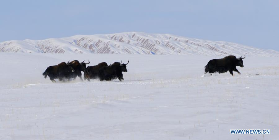 In pics: Haltent grassland in Kazak Autonomous County of Gansu