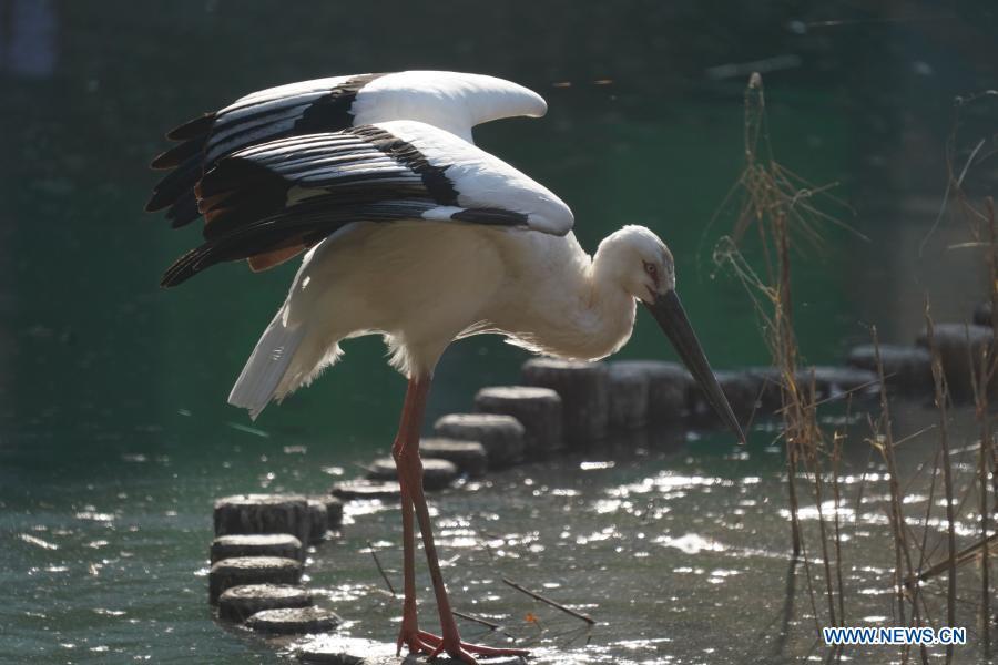 In pics: oriental white stork in healing process in China's Jiangxi