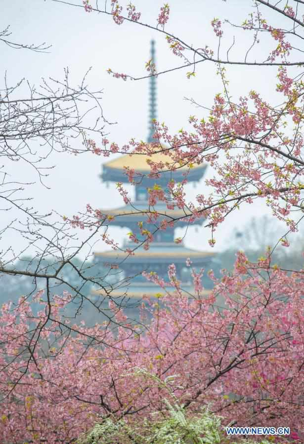 Cherry blossom park in Wuhan opens to public