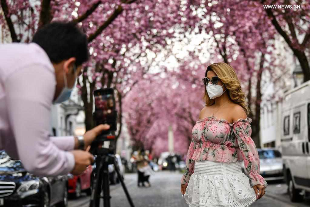Blooming cherry trees charm visitors in Bonn, Germany