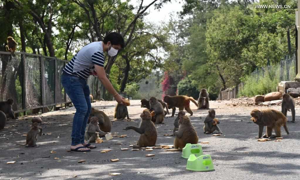 Volunteers feed monkeys during COVID-19 lockdown in Indian-controlled Kashmir