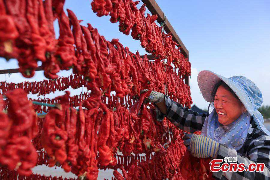 Chili peppers enter harvest season in NW China's Xinjiang