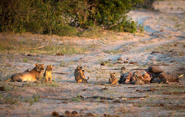 饥饿河马为夺食张大口逼走狮子