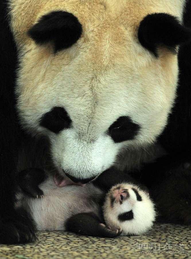 已经有40多天大的幼仔在妈妈照顾下成长