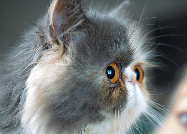 英宠物猫表情忧郁惹人怜爆红网络 组图